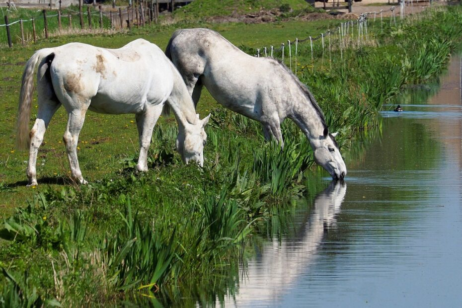 2 white horses by a river bank, drinking